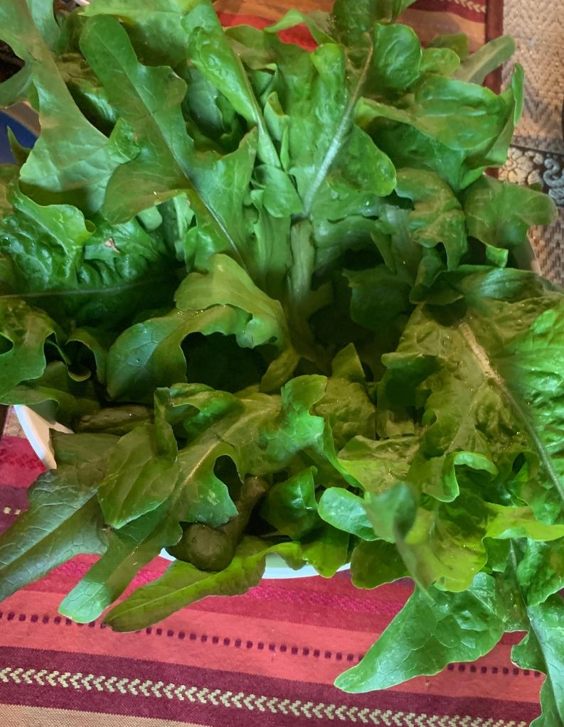 """""""Bistro"""" Lettuce: Homegrown"""