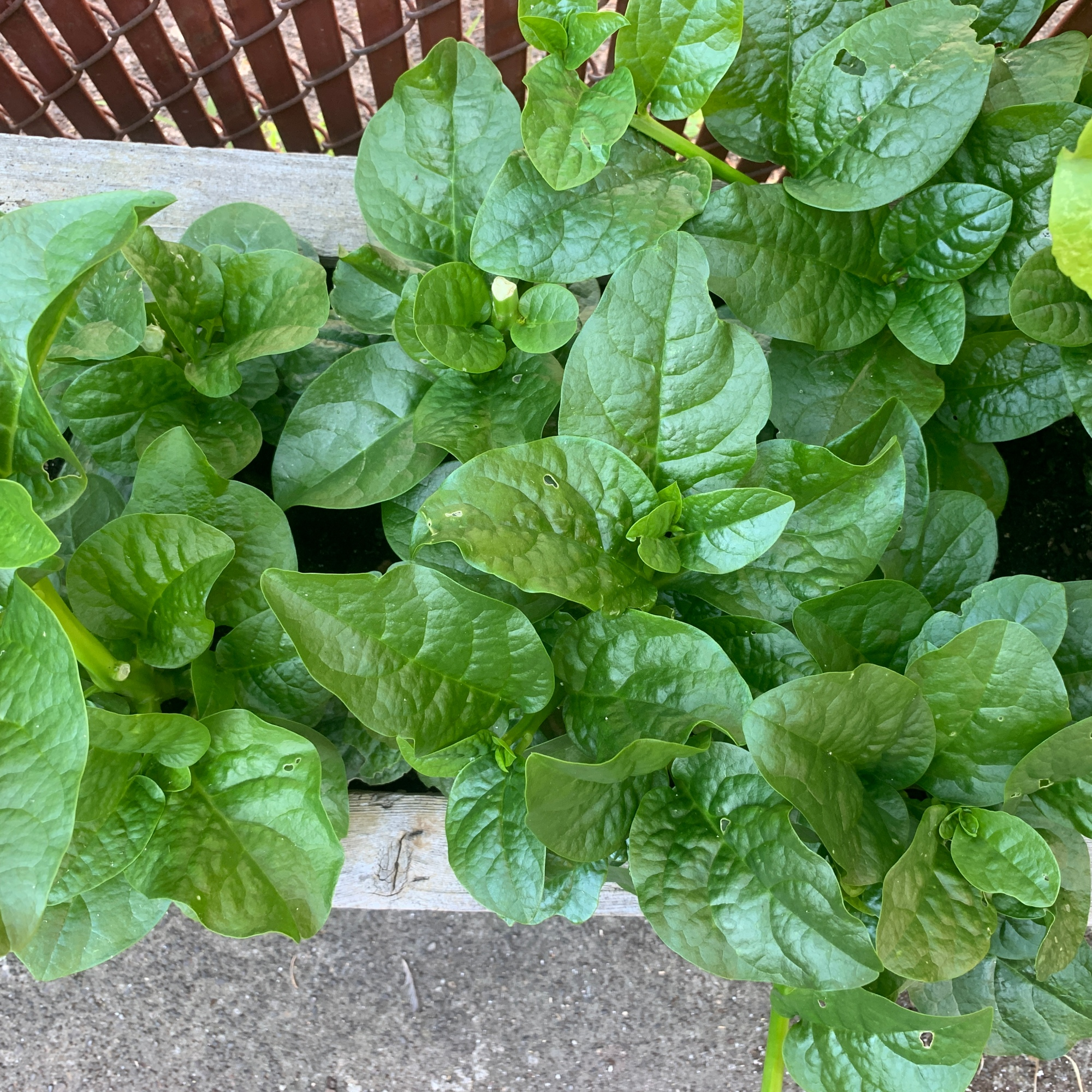 Spinach Outdoors