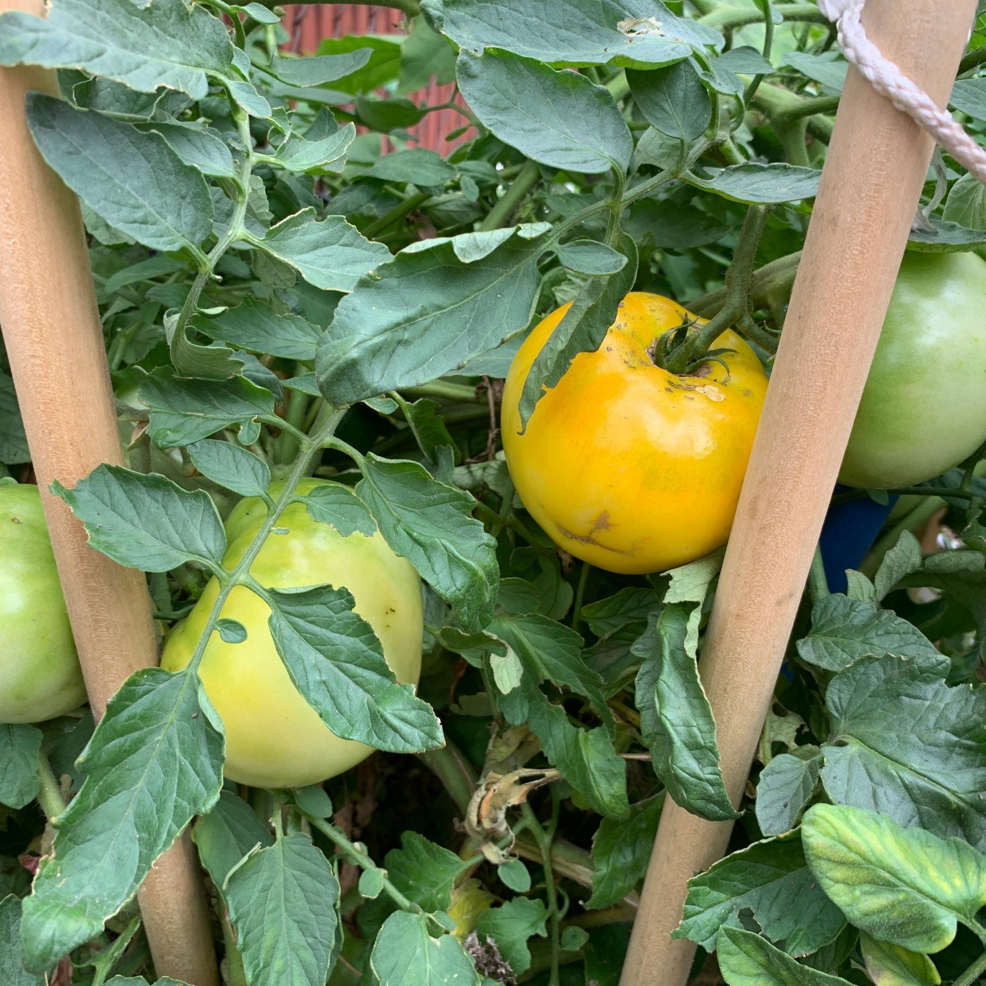 Golden Sunshine Tomatoes